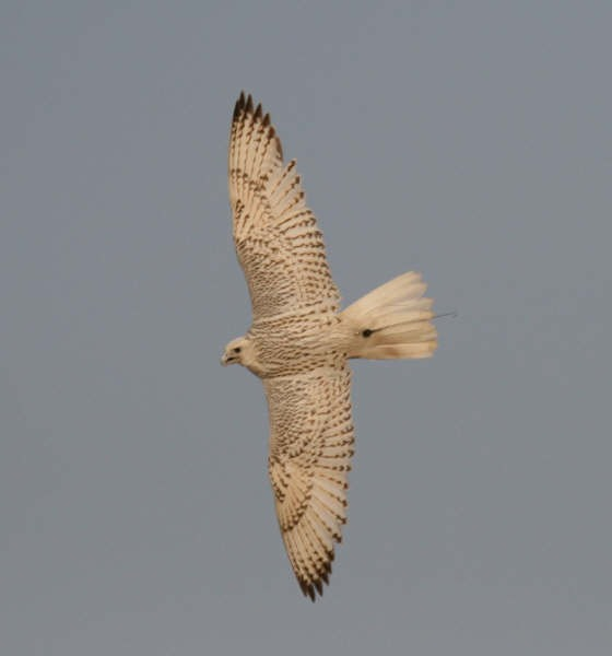 whiet gyr in flight